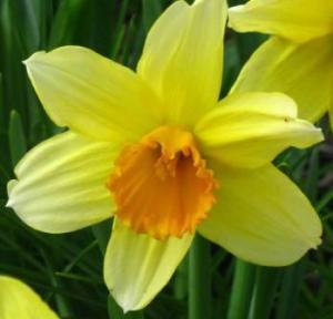 Spring Daffodil small